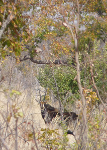 First spotting!  Sable antelope!