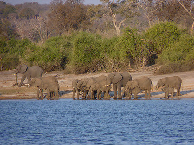 Elephants getting ready to cross the river