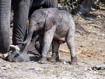 One more of the baby elephant