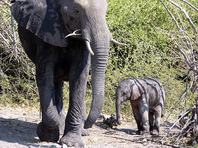 Baby Elephant!  Estimated to be 2 days old!