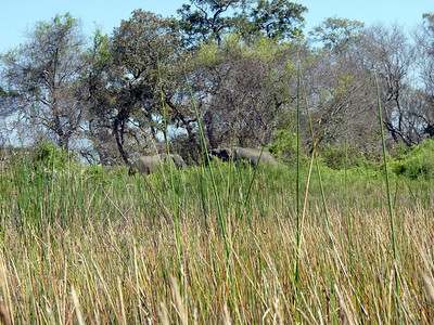Spotted! Elephants in the Reeds