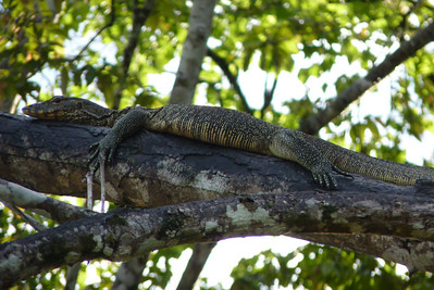Not a mammal, but monitor lizards are cool!