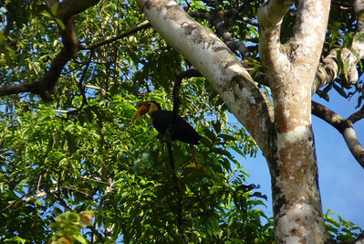 A really colorful hornbill