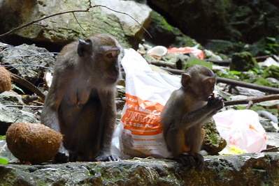 Monkeys Like Fast Food Too
