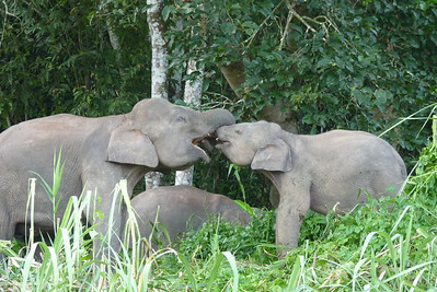 Borneo Pygmy Elephants!