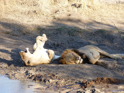 Lioness takes her turn at relaxation