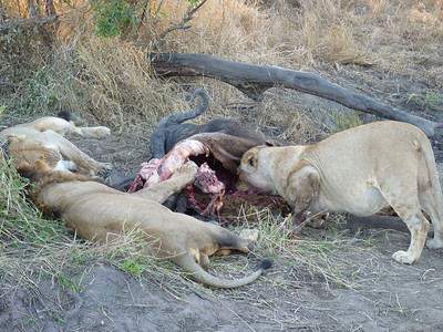 Lioness cleans her plate