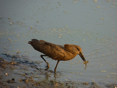 Hammerkop with his dinner