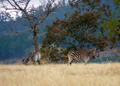 Zebras Hangin Out