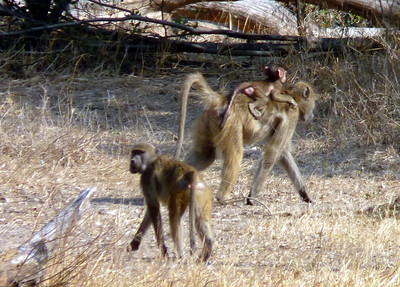 Baboons with Babies